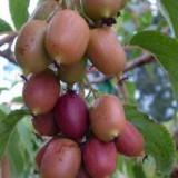 Актинидия в условиях прикубанской зоны садоводства