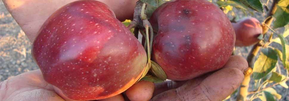 ЯблоняПлоды яблони содержат вещества с антисептическими и противовоспалительными свойствами. ..