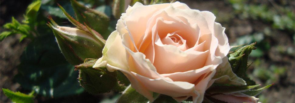 РозыНазаре своей истории человек пользовался растениями, отыскивая среди естественно произрастающих те, которые мог употребить в пищу. Уже в это время в числе полезных растений дикие розы — шиповники привлекли его внимание....
