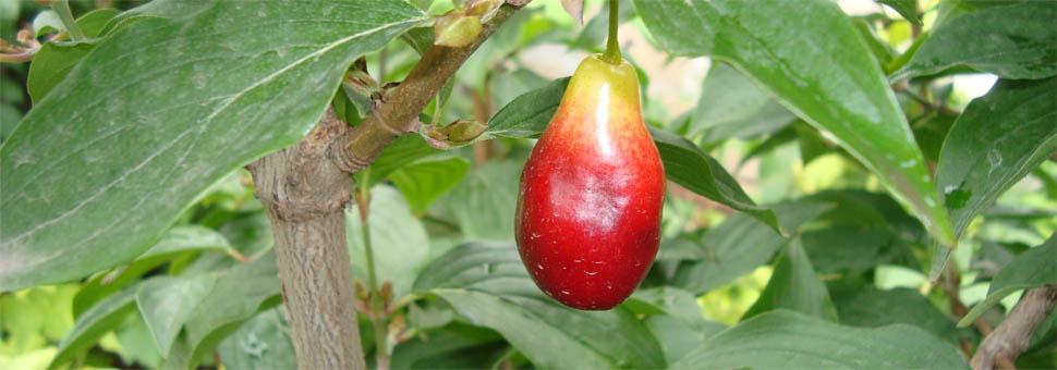 Что за чудо-ягода кизил?Благодаря ряду полезных свойств, кизил часто применяют в народной медицине для предупреждения и лечения многих недугов и заболеваний...
